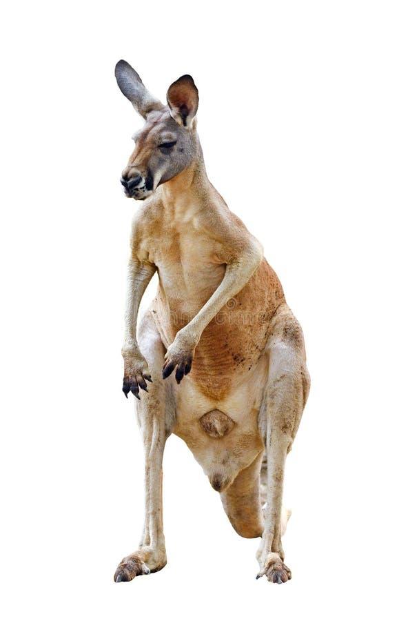 Download Kangaroo isolated stock image. Image of animal, standing - 30408317