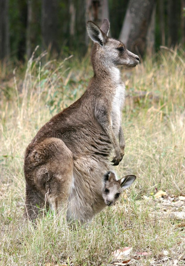 Kangaroo and Joey. Mother Kangaroo with baby (Joey) looking out of pouch, photographed in the wild