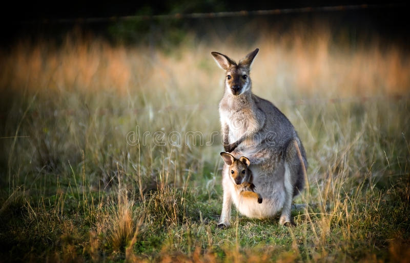 Kangaroo and Joey. Australian kangaroo with a joey in its pouch at sunset in the wild