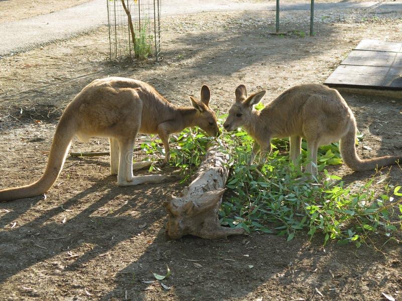 Kangaroo-6 royalty free stock image