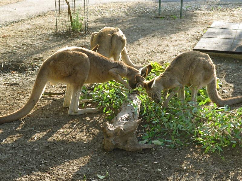 Kangaroo-5 stock images