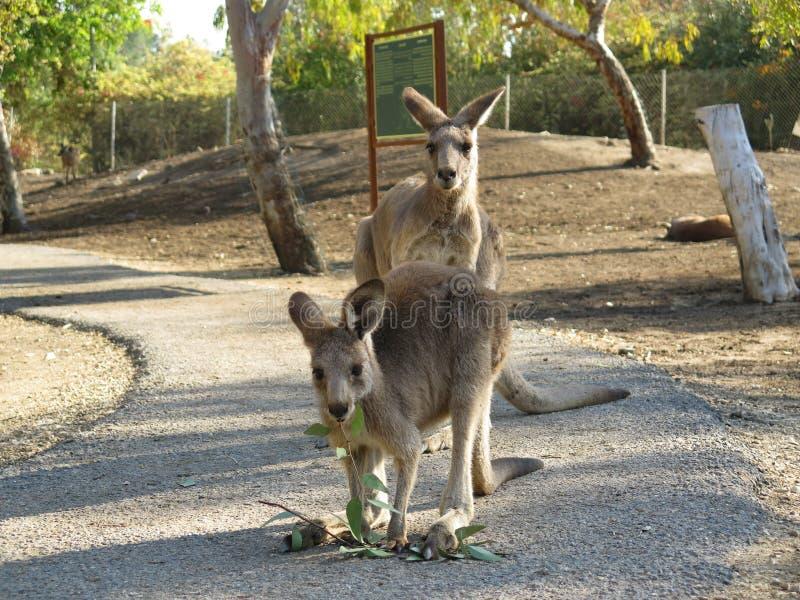 Kangaroo-3 royalty free stock photo