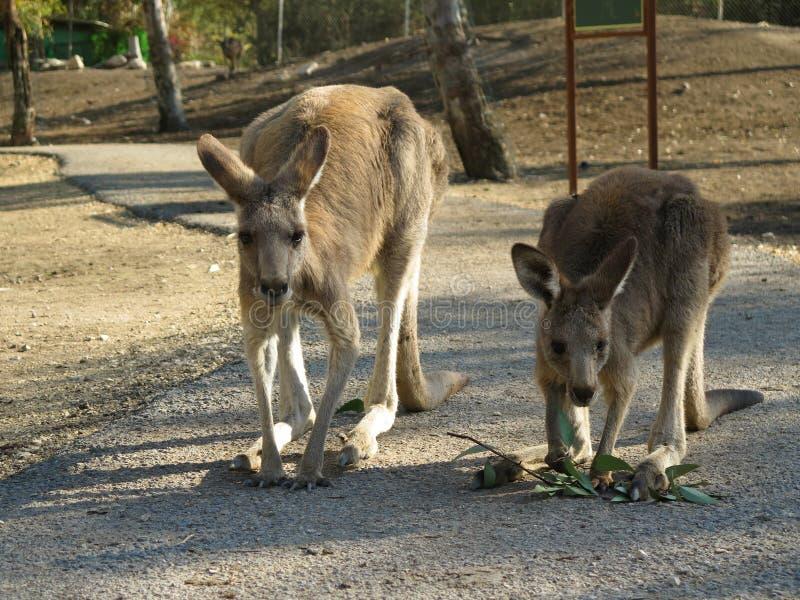 Kangaroo-2 royalty free stock images