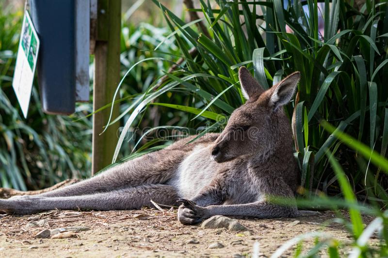 Kangaroo lounging in the winter sun light, bush in background stock photography