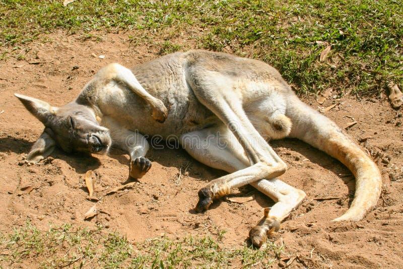 Kangaroo Lying Down stock afbeelding