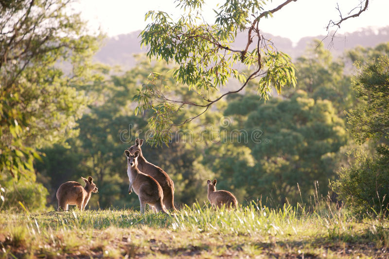 Kangaroo mob. Grazing in the Australian bush on a late sunny afternoon royalty free stock photo