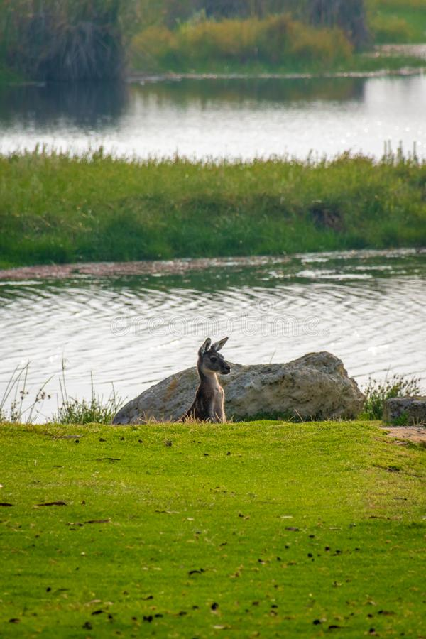 Kangaroo observing surrounding from a dent at Yanchep National Park Australia. Kangaroo observing surrounding from a dent at Yanchep National Park West Australia stock image
