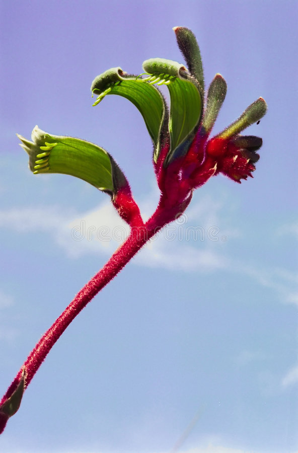 Kangaroo Paw royalty free stock images