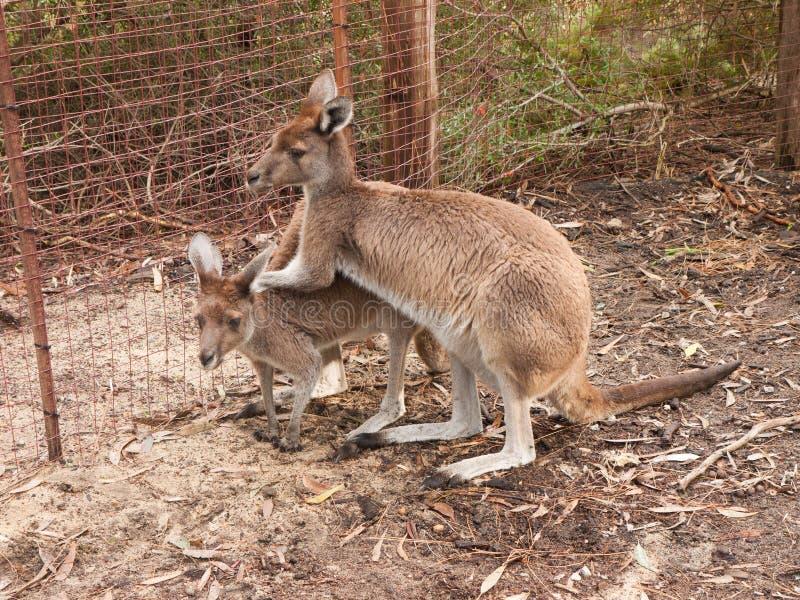 Kangaroo relaxing stock images