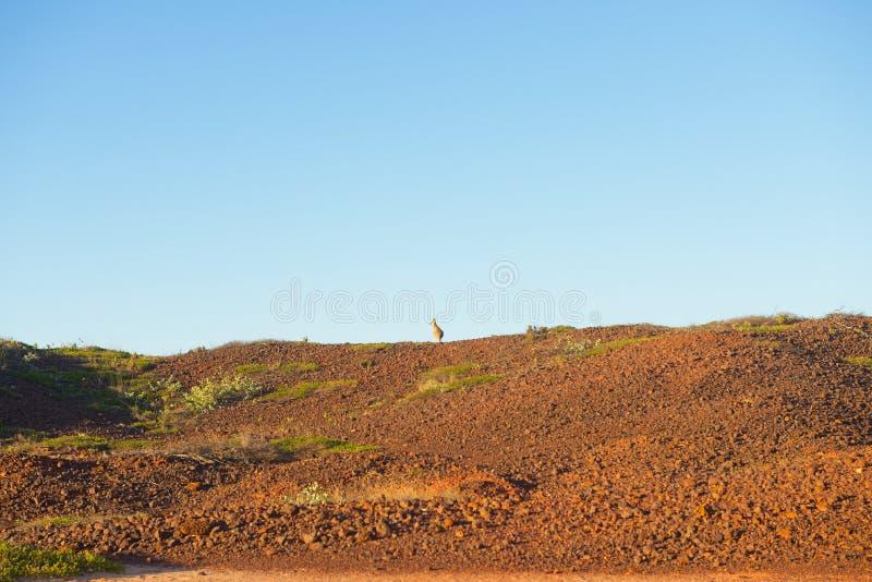 Kangaroo remote outback landscape panorama royalty free stock photo