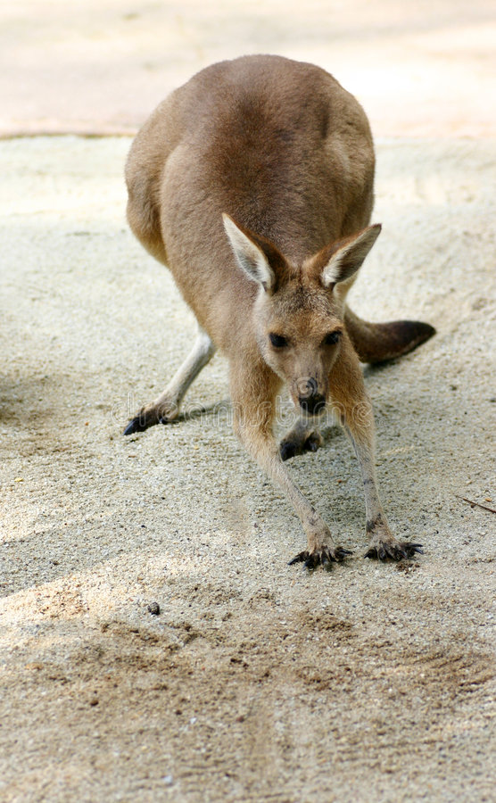 A Kangaroo's Gotta stretch. A Kangaroo stetching - Always do your warm-up exercises before long-distance hopping royalty free stock image