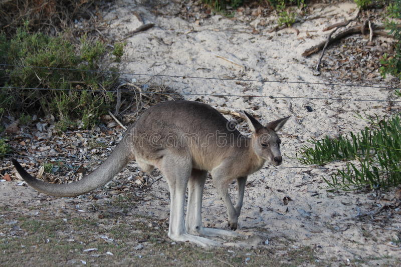 Kangaroo on Sandy Beach. Victoria`s fertile landscape is more receptive to the smaller eastern grey kangaroo, which is shy and retiring by nature. You`ll also royalty free stock images