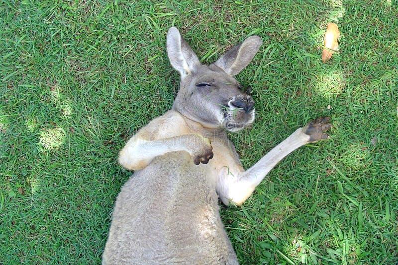 Kangaroo Snooze royalty free stock photography