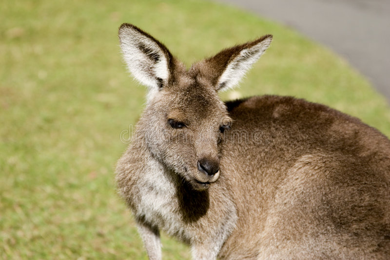 Kangaroo upclose stock photography