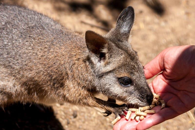 Kangaroo wallaby Macropodidae eatting food from human hands. Australia, Kangaroo Island royalty free stock photo
