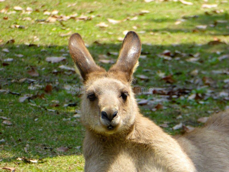 A Kangaroo watching the shot royalty free stock image