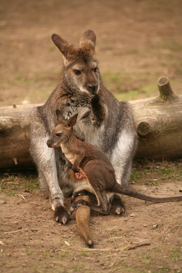 Free Kangaroo With Baby Stock Photos - 1232113