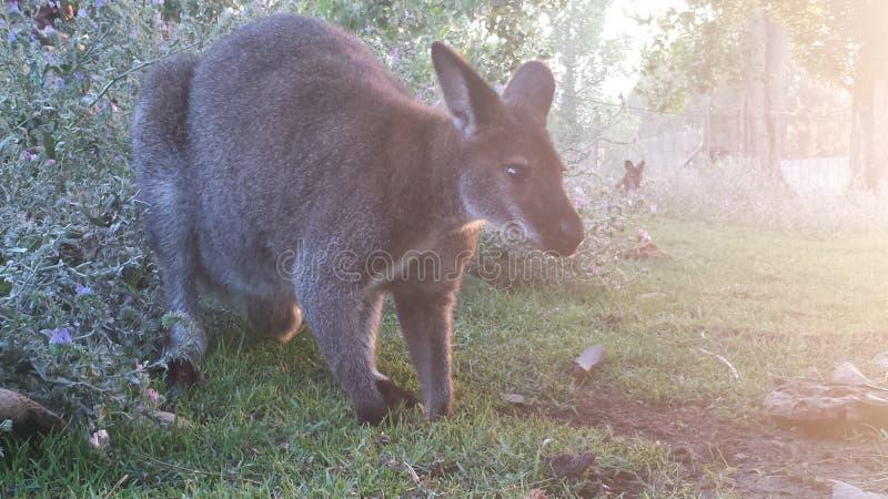 Kangaroo royalty free stock image