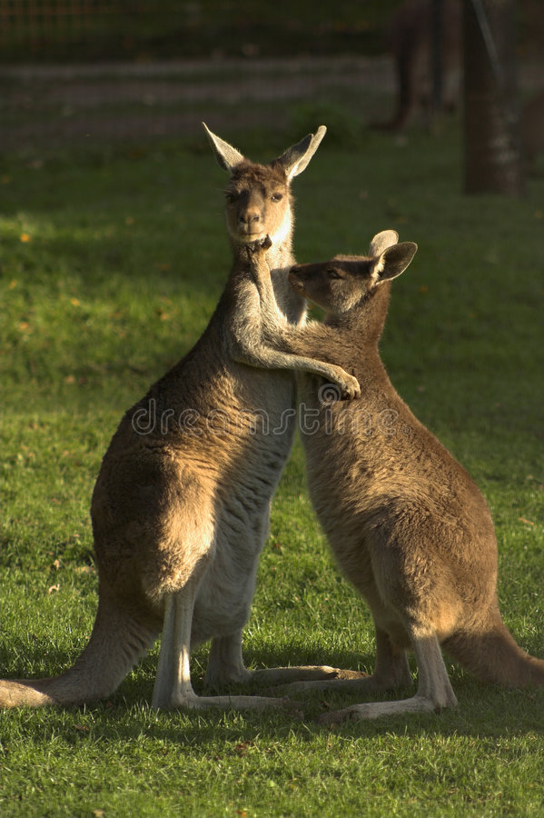 Free Kangaroos Royalty Free Stock Photo - 326005