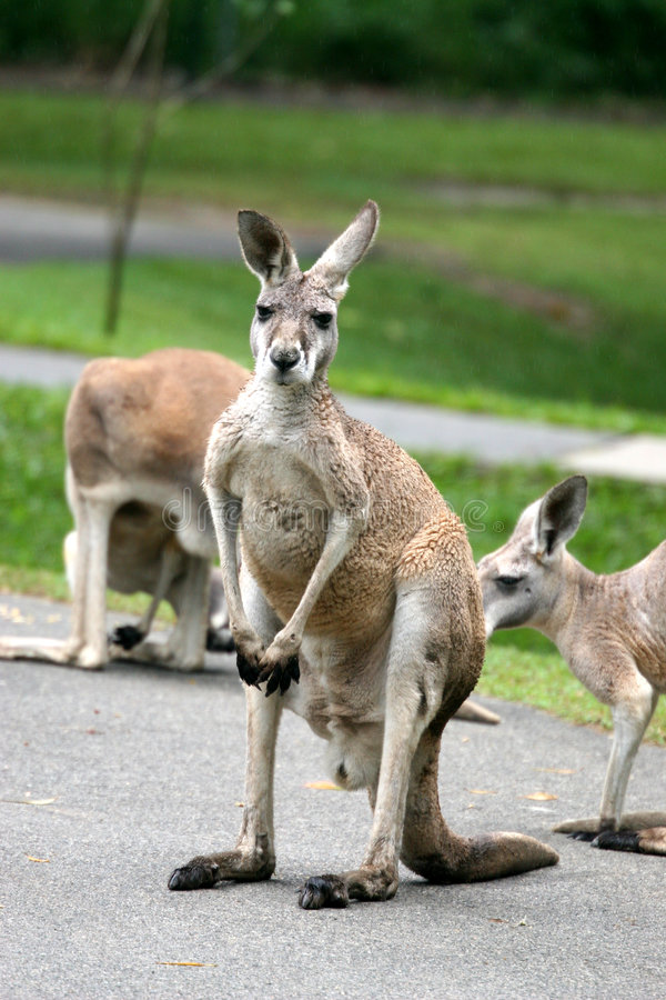 Download Kangaroos stock image. Image of animals, green, wild, pouch - 4199635