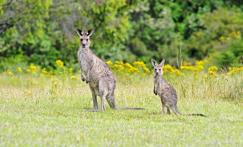 Kangaroos in Australia are looking straight at the camera stock images
