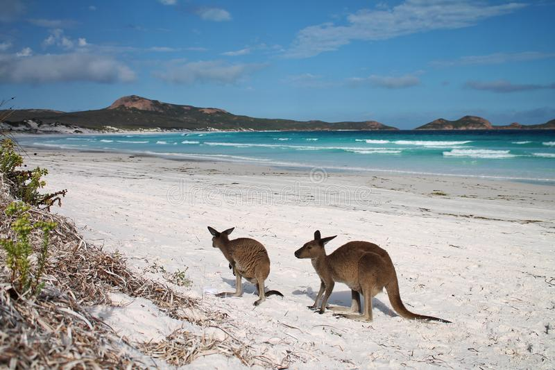 Kangaroos on beach with ocean in background at Lucky Bay, Western Australia. Two small kangaroos stand on the beach at Lucky Bay, Esperance, Western Australia stock photography