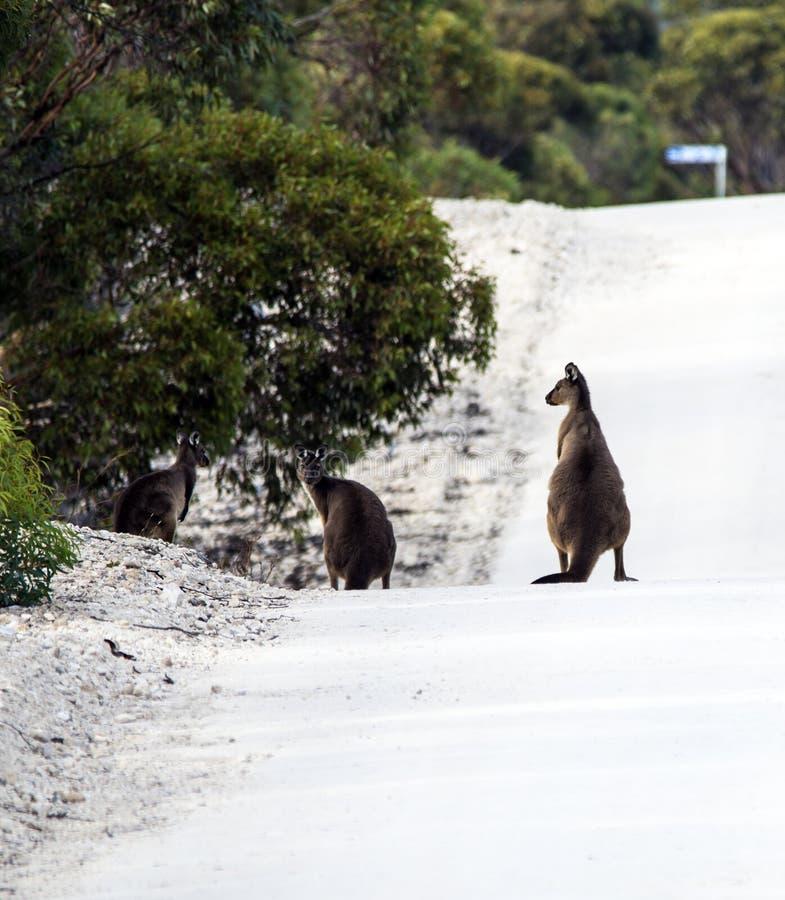 KangaROOS como peligro del camino en sur de Australia foto de archivo libre de regalías