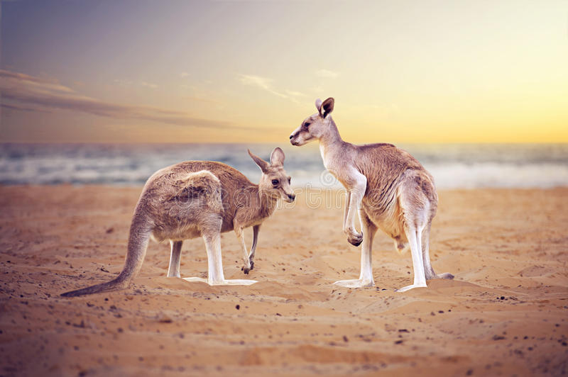 KangaROOS en la playa fotos de archivo