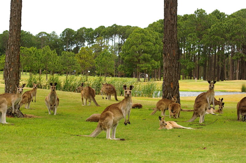 Download Kangaroos on a golf course stock image. Image of travel - 16884873