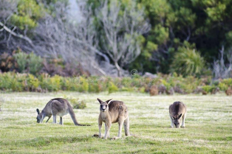 Kangaroos grazing, Narawntapu National Park stock photos