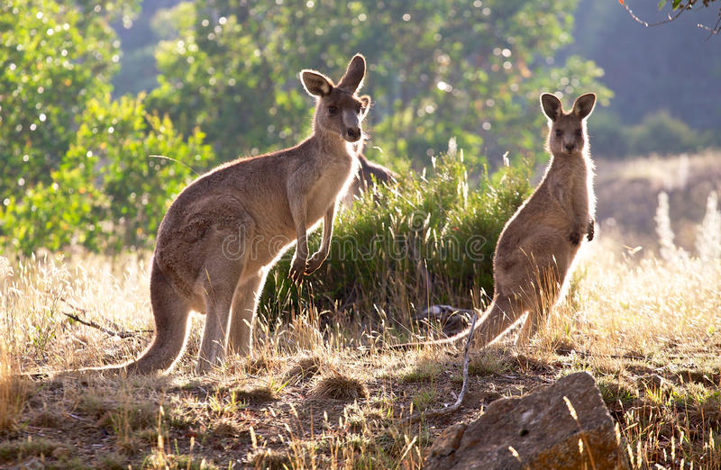 Kangaroos In The Morning Stock Image