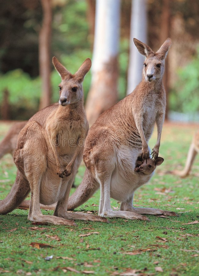 Free Kangaroos On Ground Stock Image - 943531