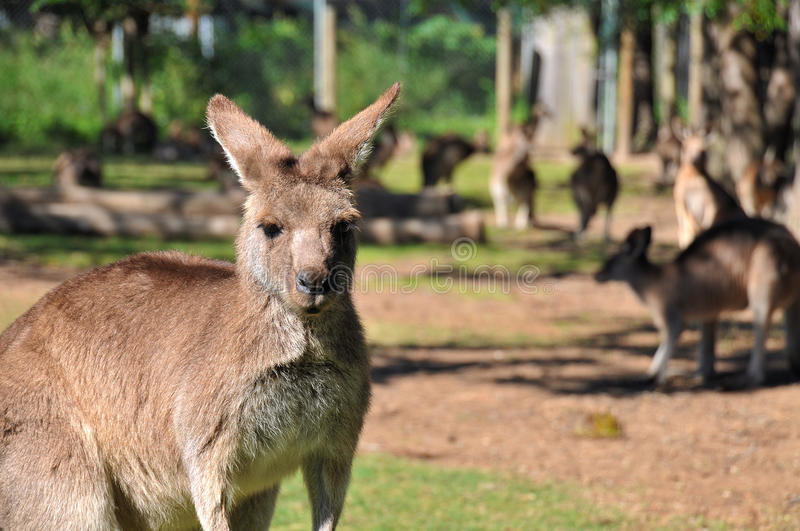 Kangaroos in a reserve. Photo about kangaroos, taken in a kangaroo reserve. One kangaroo is in the focus and few others are in the blurry background stock photography