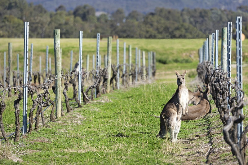 Kangaroos. In the vineyard, Hunter Valley, Australia royalty free stock images