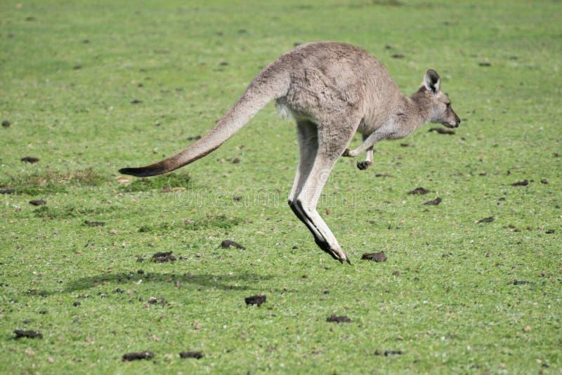 Kangarro som hoppar bort på grönt gräs royaltyfri foto