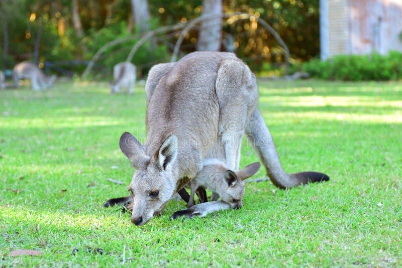 Kangarros in der wilden Natur stockbild