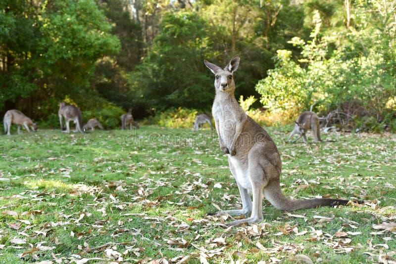 Kangarros in wild nature royalty free stock photo