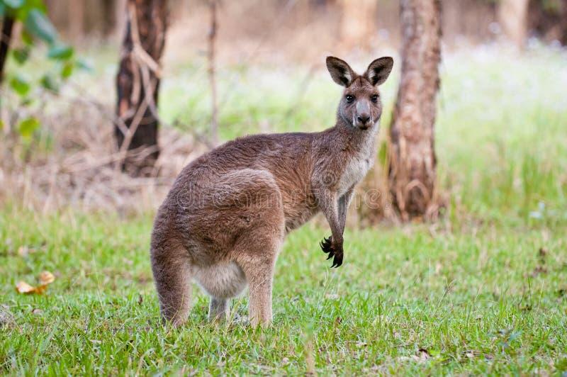 kangoeroe stock afbeeldingen