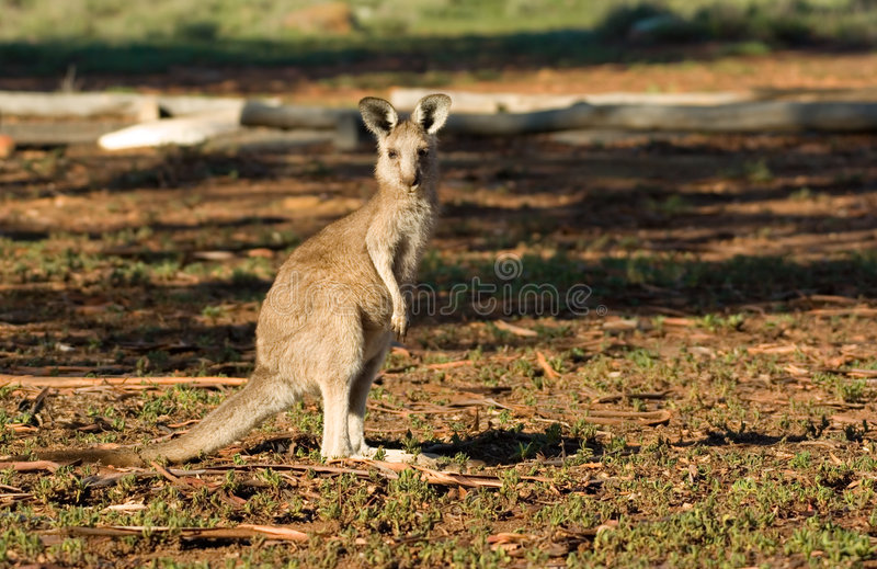 Kangoeroe die camera bekijkt royalty-vrije stock fotografie
