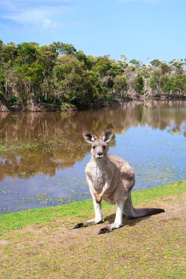 Kangoeroe die zich dichtbij het meer bevindt stock fotografie