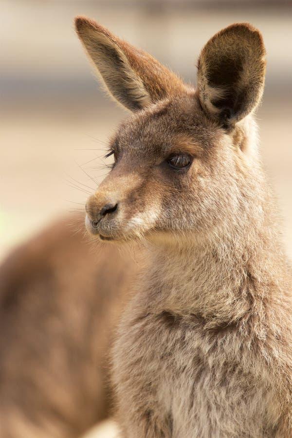 Kangoeroe in dierentuin royalty-vrije stock afbeelding
