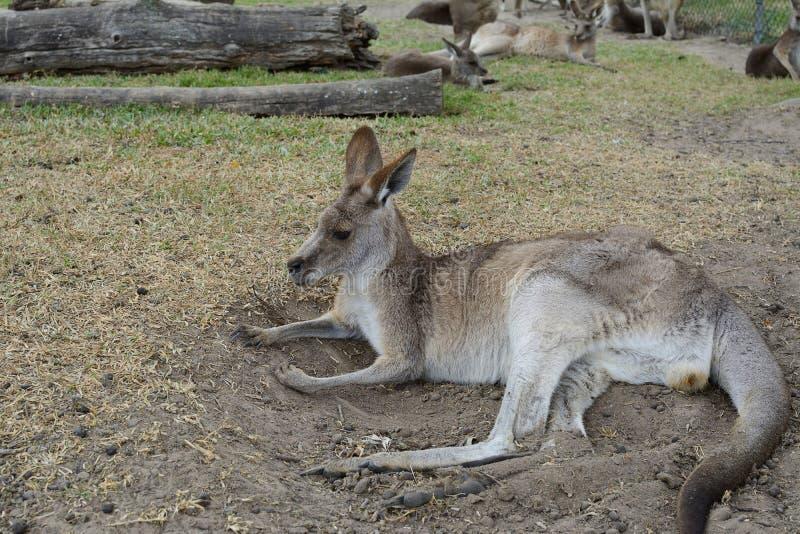 Kangoeroe het ontspannen stock foto's