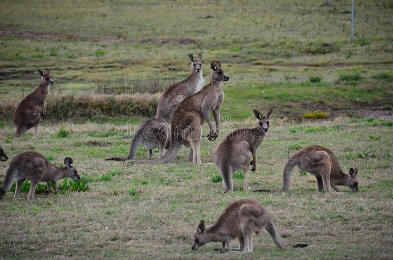 Kangoeroe Menigte Australië stock foto's
