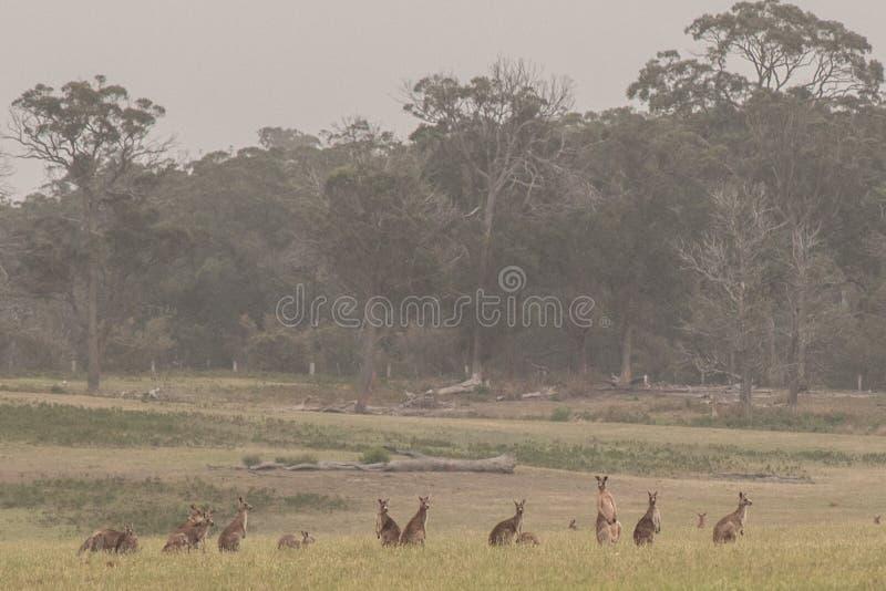 Kangoeroe menigte op een groot gebied stock foto