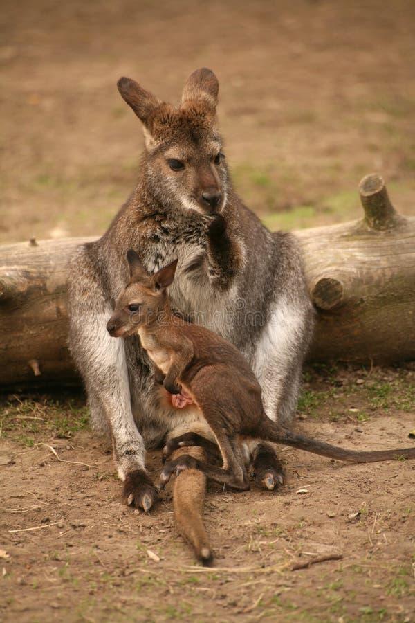 Kangoeroe met baby stock foto's
