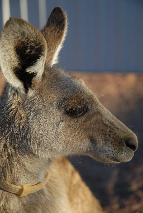 Kangoeroe met een vlokraag royalty-vrije stock foto's