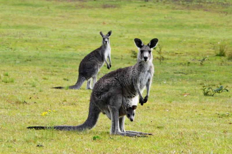 Kangoeroe met joey in zak royalty-vrije stock foto's