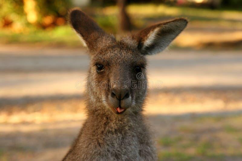 Kangoeroe met tong die uit plakt royalty-vrije stock foto's