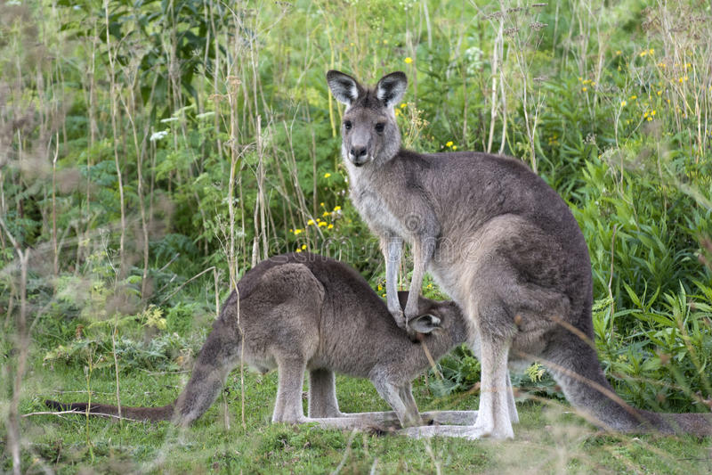 Kangoeroe met weinig joey in Australië royalty-vrije stock afbeelding