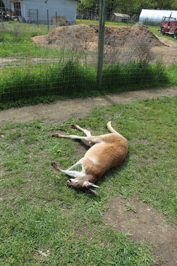 Kangoeroe in slaap op gras royalty-vrije stock foto's